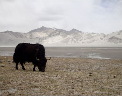 Yak in China