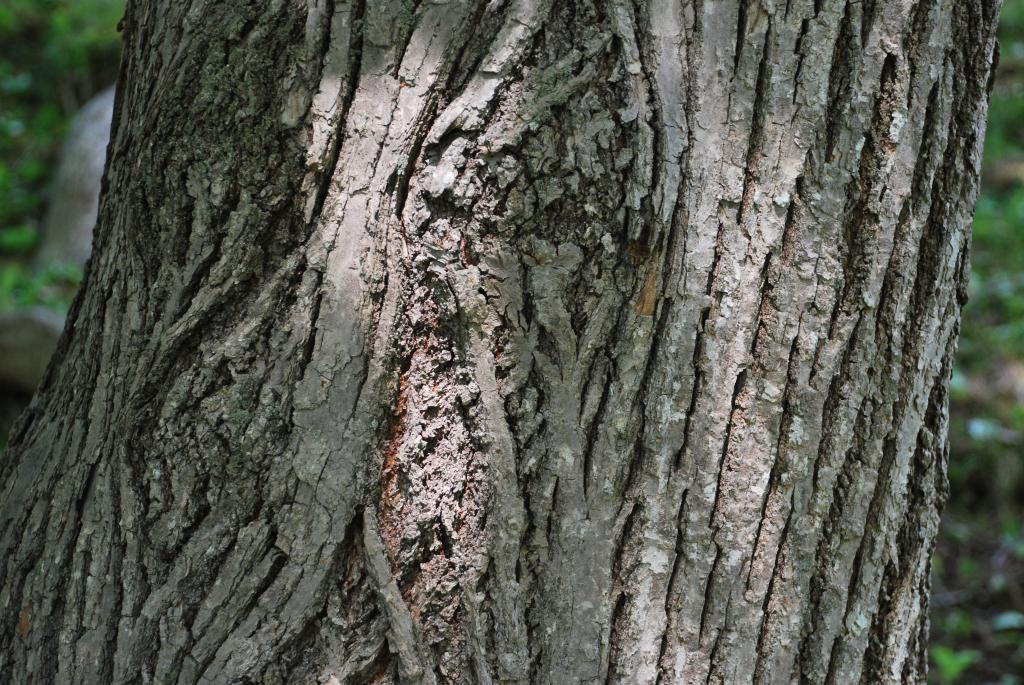Bark of the American Linden tree