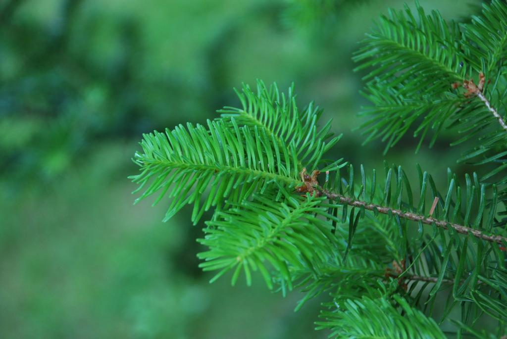Canaan Fir needles
