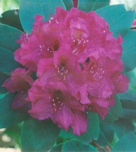 Florence Parks Rhododendron Bloom at the Joe Parks Rhododendron Garden USM