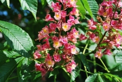 Fort McNair Red Horsechestnut