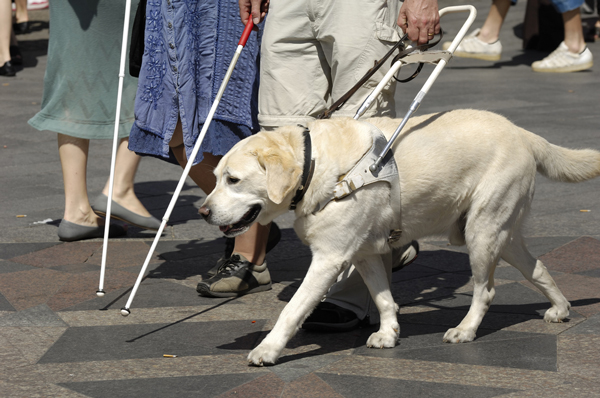 Image of Service Dog Walking with Man and Cane