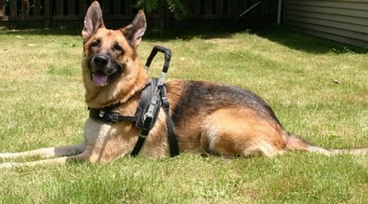 Image of a service dog wearing a harness.