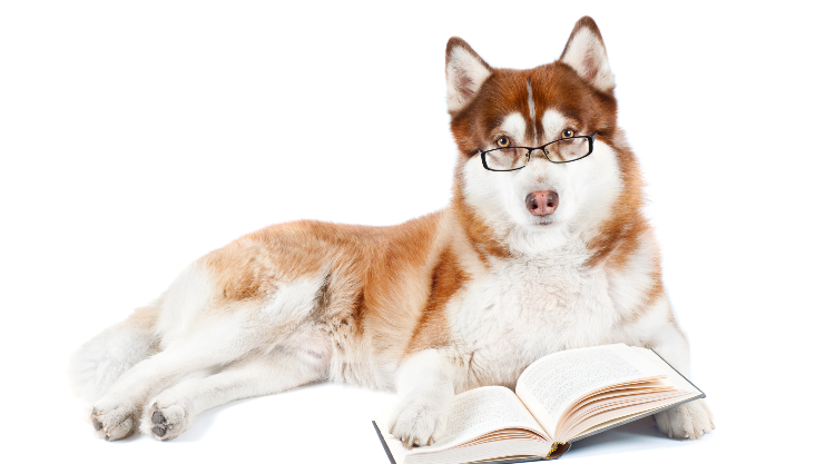 Husky with glasses reading a book