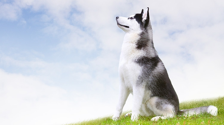 A husky, sitting on a hill covered in grass, staring up at a blue sky full of wispy white clouds.