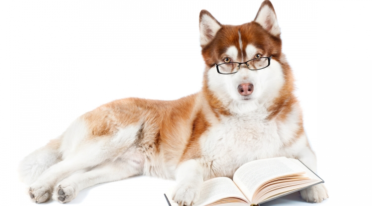 Husky reading the rules and regulations