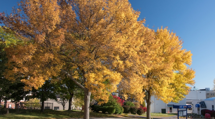 Yellow tree in the fall on the USM Portland campus