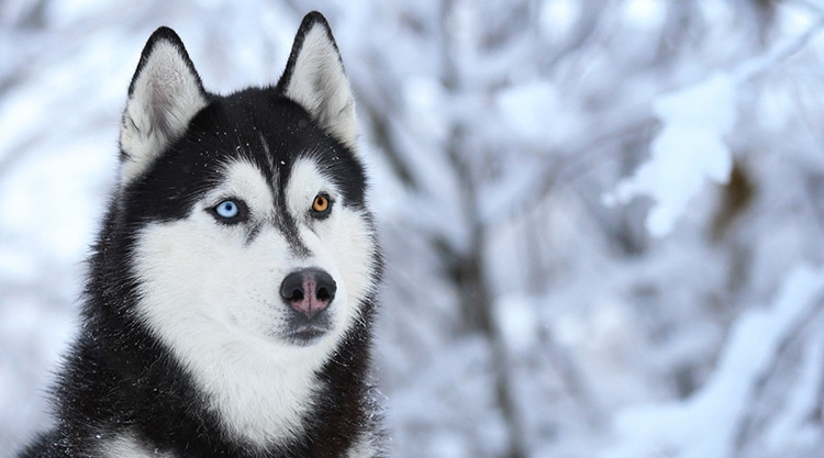 A husky with on blue eye and one gold eye, sitting in snow.