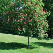 Fort McNair Red Horse Chestnut
