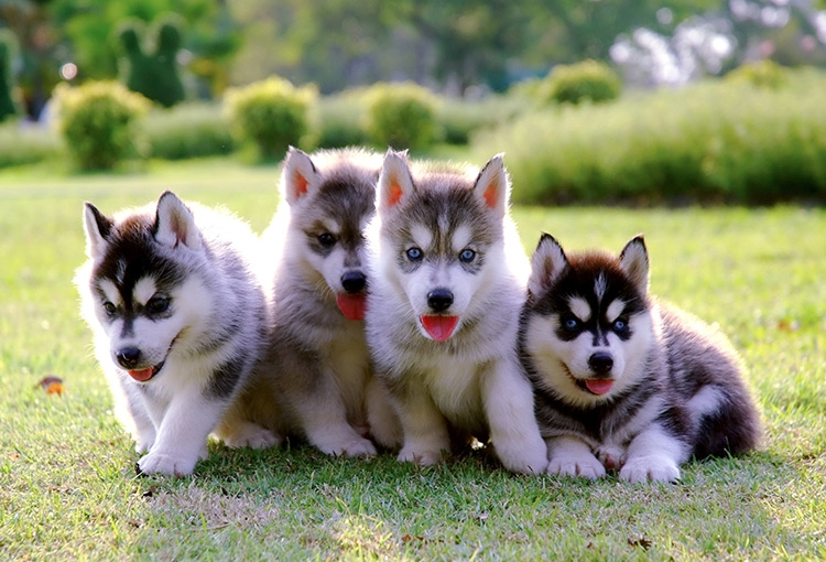 Four Husky puppies clustered together in various states of sitting and laying on a grassy area.