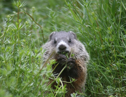 woodchuck pup eating forbs