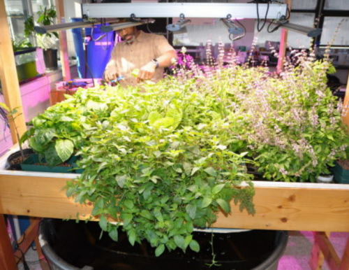 Associate research professor Theodore Willis growing aquaponics at the University of Southern Maine