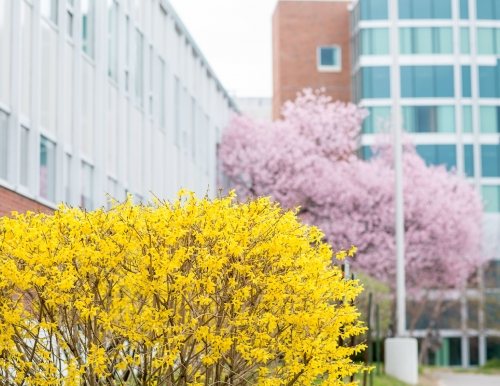 Blooming trees on the USM Gorham campus.
