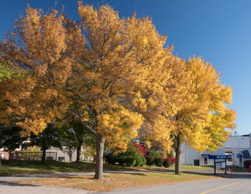 Two yellow, deciduous trees in autumn grow next to a road.