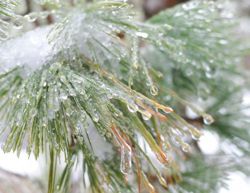 Pine needles coated in ice