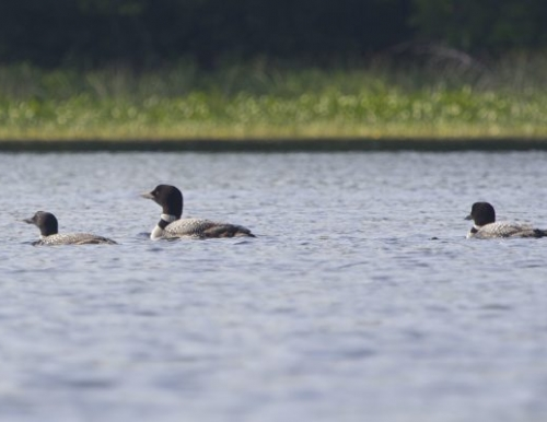 Loons swimming at Hermond Pond