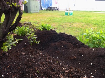 University of Southern Maine Coffee Ground Collection Program - Grounds freshly emptied into a mulched campus bed before being spread