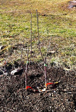 Black Oxford saplings at the USM Gorham heirloom apple orchard, Gorham Maine